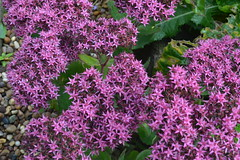 SEDUM 'Mr Goodbud'