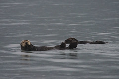 arctic(0.0), animal(1.0), seals(1.0), marine mammal(1.0), sea(1.0), mustelidae(1.0), sea otter(1.0), harbor seal(1.0), wildlife(1.0),