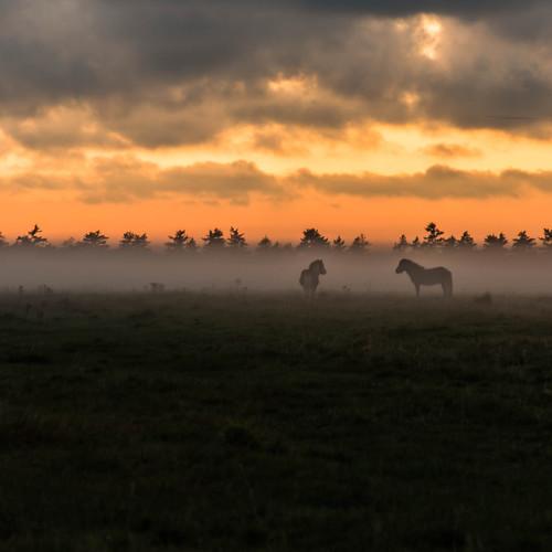 sunset horses mist field animals denmark europe bestof done geotag 2012 jutland nordjylland brovst bo47 tamron2xteleconverter nikkor85mmf18 nikond800 bonielsen