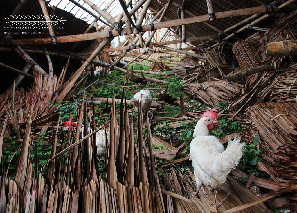 Poultry Farms in Madridejos Bantayan Island Yolanda
