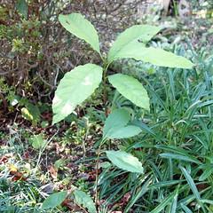 庭に埋めたアボカドの種から、いつのまにか芽吹き生えた。冬は越せないだろうから、対策を考える。