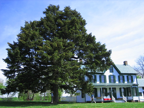 Image of Nordman Fir