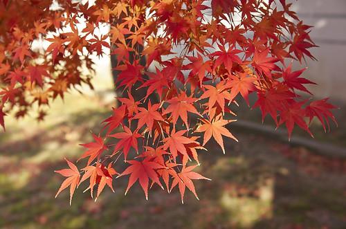 【写真】2013 紅葉 : 妙顕寺/2020-11-01/IMGP4140