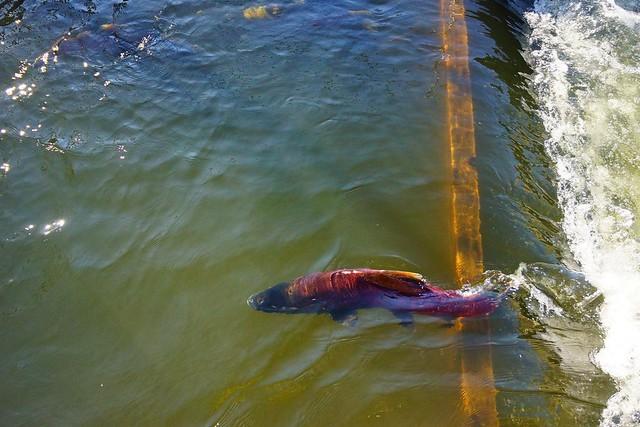American river nimbus fish hatchery 112513 12 for Nimbus dam fishing