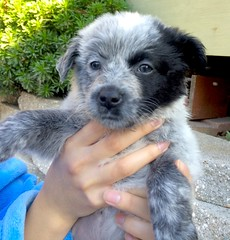 dog breed, animal, puppy, dog, pet, mammal, australian cattle dog,