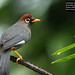 Chestnut-capped Laughingthrush (Garrulax mitratus major) by Dave 2x