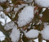 Snow on Rose Leaf