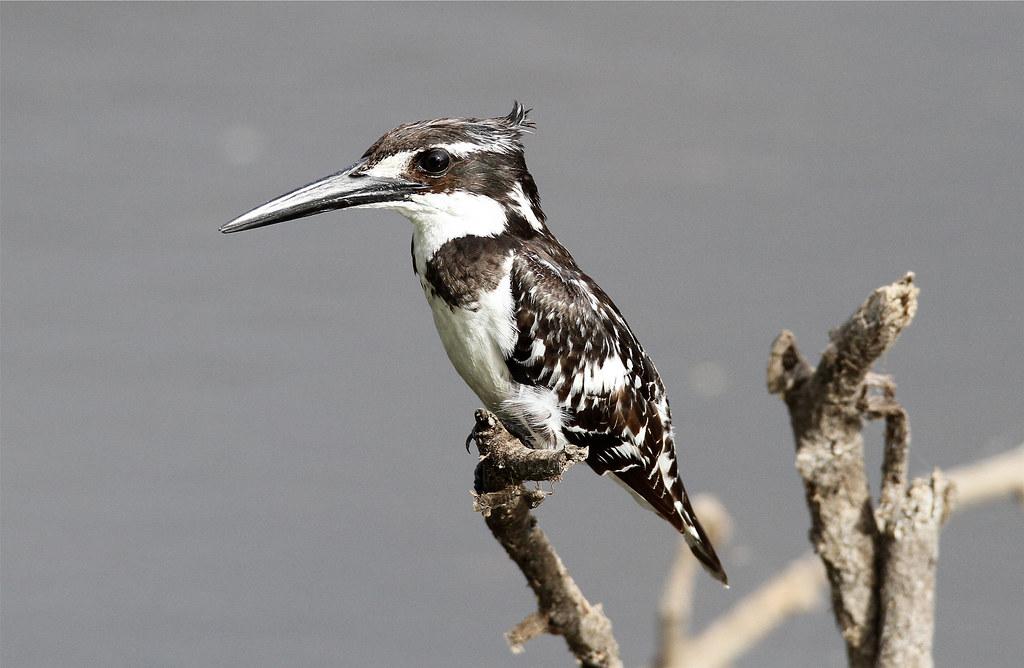 Ceryle rudis ♀ (Pied Kingfisher)