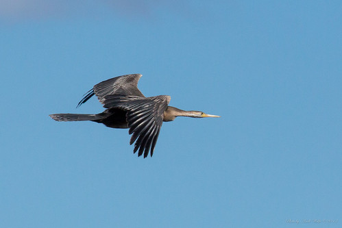 African darter in flight by andiwolfe