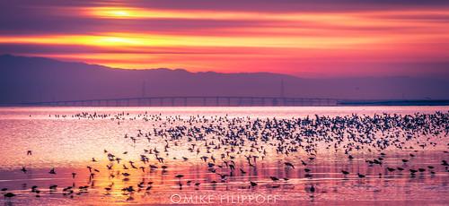 sanfrancisco birds sunrise bay early nikon colorful day cloudy flight fowl aquatic mass fostercity dumbartonbridge d800e