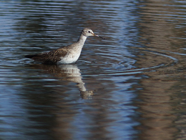 Yellowlegs 20140125