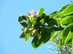 20140117_KapiolaniCC-CactusGarden_Pereskia-maybeGrandiflora_Cutler_P1630600