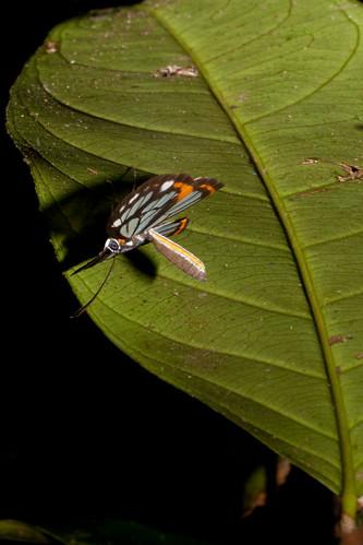 suriname tafelberg riodinidae stalachtis zephyritis phaedusa