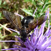 Small photo of Bombyliidae
