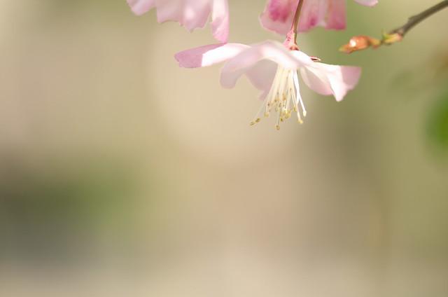 春の谷中フォトウォーク サクラ 2014年4月10日