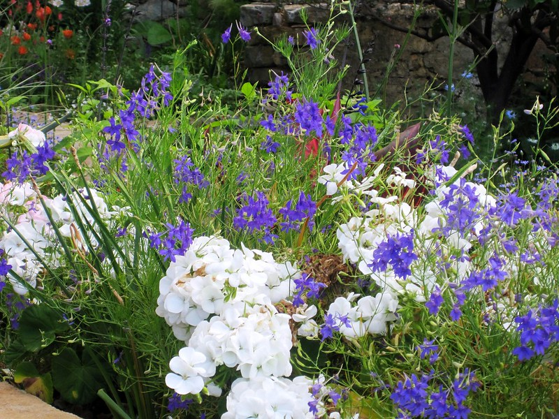 Larkspur Vs Delphinium Difference