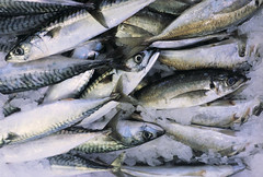 bass(0.0), cod(0.0), marine biology(0.0), barramundi(0.0), milkfish(0.0), animal(1.0), mackerel(1.0), fish(1.0), fish(1.0), forage fish(1.0), oily fish(1.0), sardine(1.0),