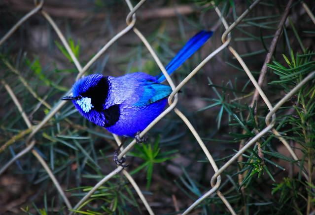 Splendid fairy Wren, Whiteman Park, Western Australia