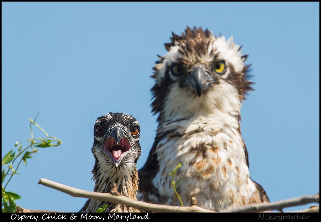 Osprey Chick & Mom