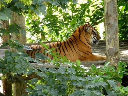 Tiger! Roar!