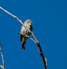 Virginia's Warbler (Oreothlypis virginiae)_DSC4474