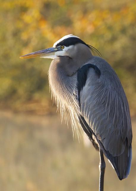 Great Blue Heron (Ardea herodias)...  zoom in!