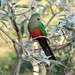 Small photo of Australian King-Parrot (Alisterus scapularis) female