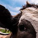 Bovine Confidential by publicenergy