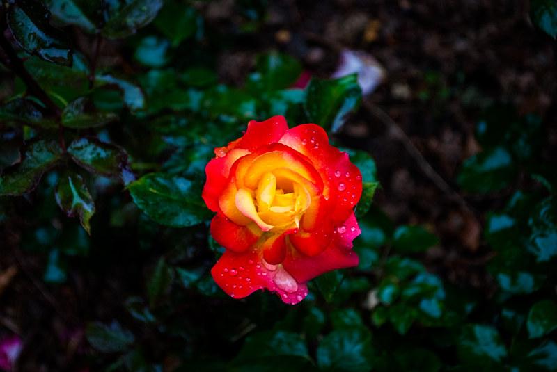 огненный цветок DSC_1457