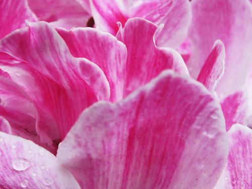 Pink Floral Petals