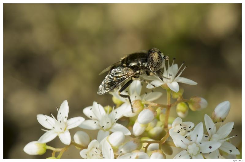(NATURE: Faune/Insecte)En suivant les conseils de Sirjay 9337138326_e5287669b9_c