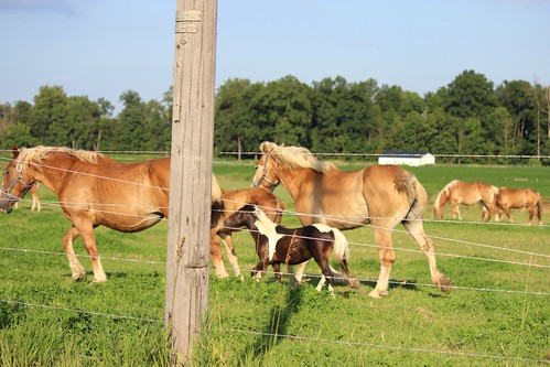 IMG_0609_Amish_Pony_with_Draft_Horses