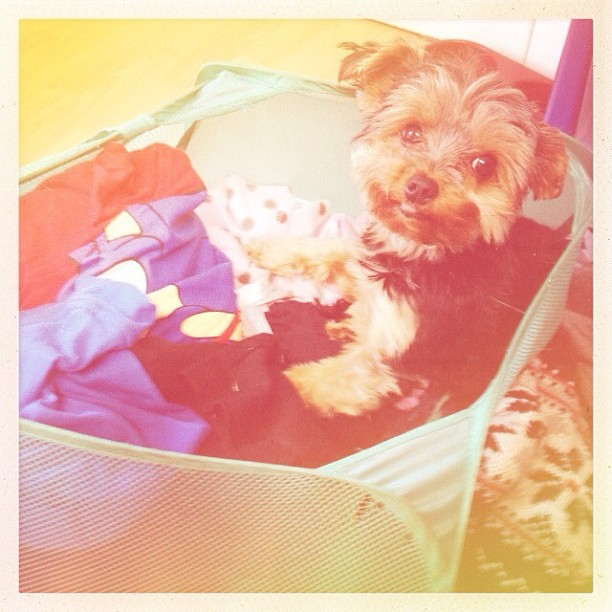 There's a dog in my laundry... wee sausage!