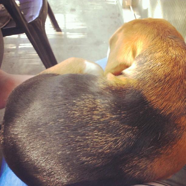 Schoothondje #Beagle