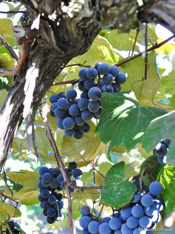Grape & Rosemary Focaccia - Schiacciata Con l'Uva