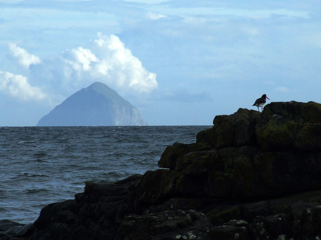 oystercatcher with Ailsa Craig