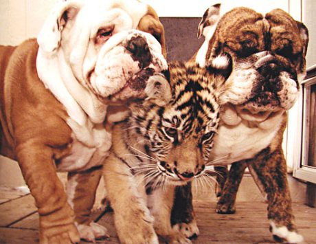 Bulldog with Tiger. Source unknown.
