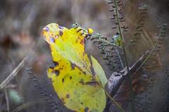 26. Oktober 2013 - 9:39 - Tulip Poplar Leaf