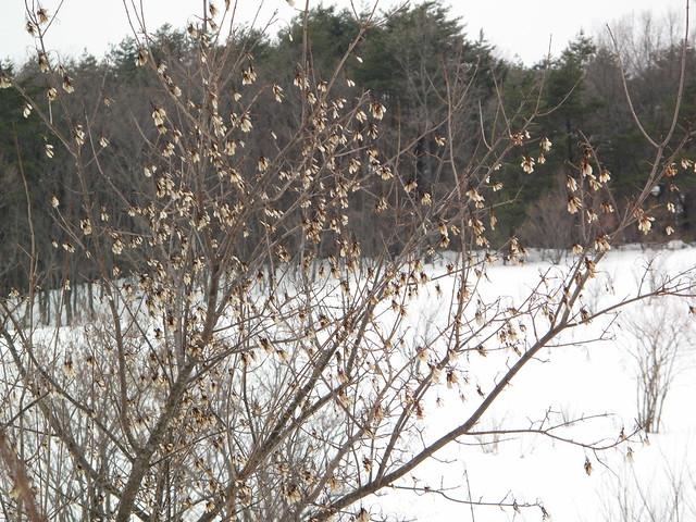 雪景色の中,目立っていたカラコギカエデの種.
