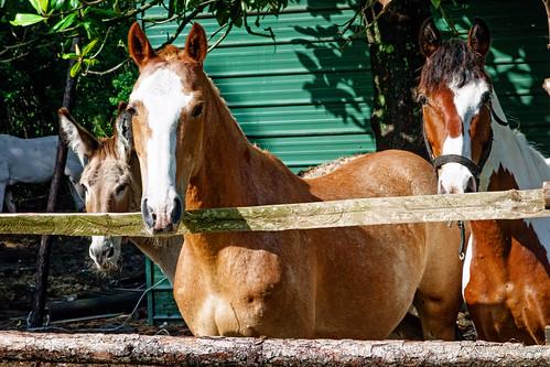 horses sony brunswick brag rx100 bicyclerideacrossgeorgia piercecountygeorgia trudieroad