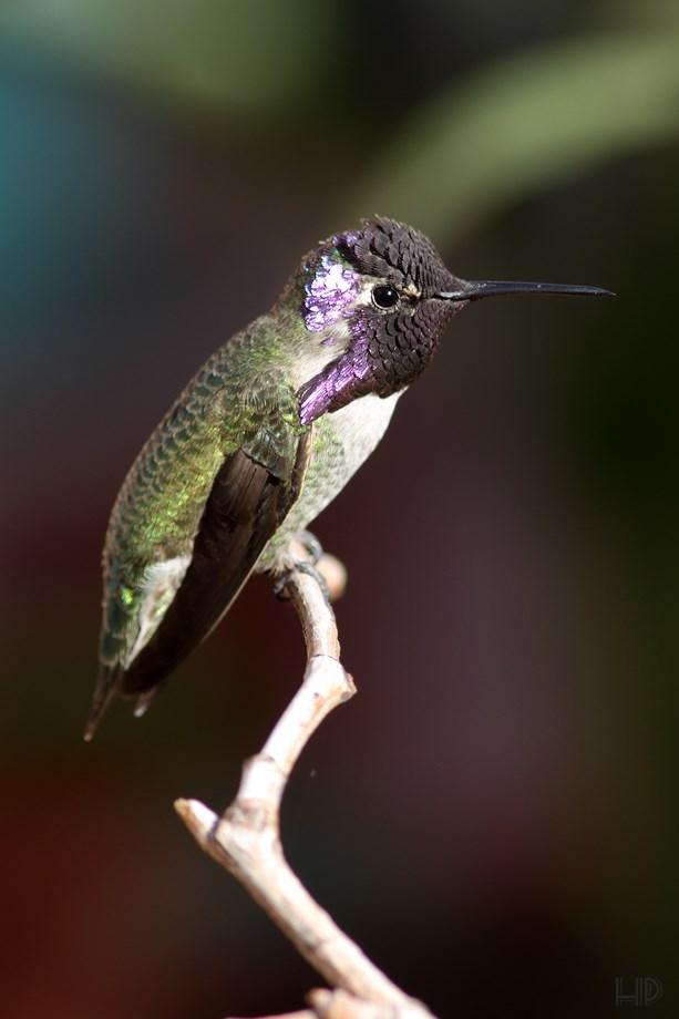 Costa's X Anna's Hybrid Hummingbird 111113-2