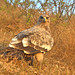 uttampegu posted a photo:	Steppe Eagle in Udaipur in morning light!