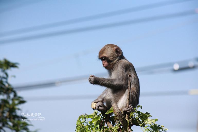 台南私藏景點-南化烏山獼猴 (23)