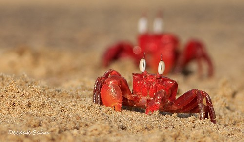 Ghost Crab @ Satapada, Chilika Lake