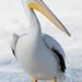 Pelican Posing_42738.jpg
