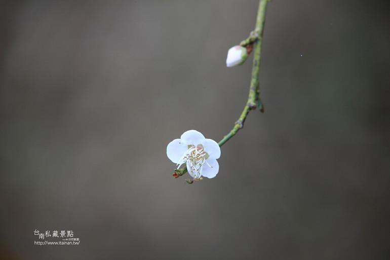 台南私藏景點--梅嶺梅花季  2013 (42)