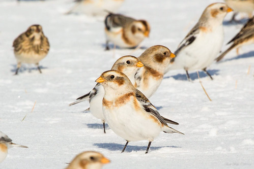 Snow bunting by andiwolfe