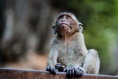 Macaca fascicularis - crab-eating macaque - Krabi / Thailand