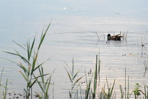 Dormir dans les arbres - poule d'eau sur l'étang Cistude
