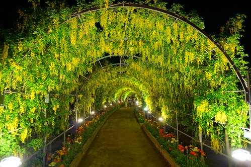 Yellow Wisteria tunnel at Ashikaga Wisteria festival 2014 35